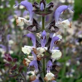 touffe de Salvia desoleana - Sauge de Sardaigne