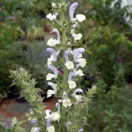 Salvia desoleana - Sauge de Sardaigne