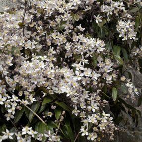 Clematis armandii - Clématite d'Armand