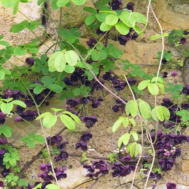Akebia quinata - Akébie à cinq feuilles