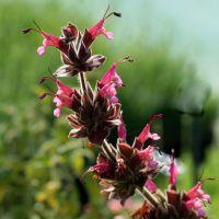 Salvia spathacea - Sauge colobri