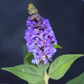 Buddleja 'Petit Bleu' - Arbre aux papillons compact