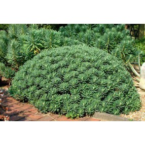 Euphorbia characias 'Portuguese Velvet', Euphorbe