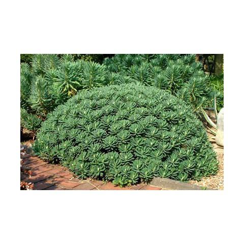 https://www.senteursduquercy.com/495-thickbox/euphorbia-characias-portuguese-velvet-euphorbe.jpg