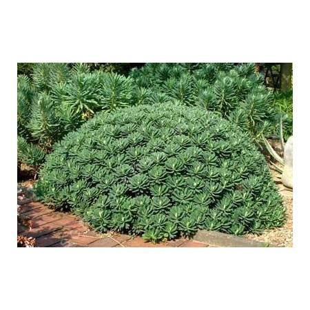 Euphorbia characias 'Portuguese Velvet' - Euphorbe