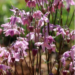 Aquilegia vulgaris 'Heidi' - Ancolie commune rose