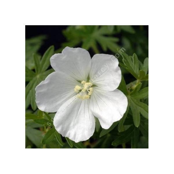 Geranium sanguineum 'Album' - Géranium sanguin à fleur blanche