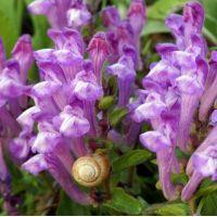 Scutellaria pontica - Scutellaire Georgienne