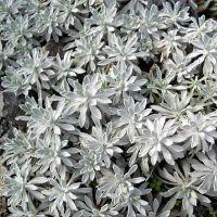 Achillea ageratifolia - Achillée à feuille d'ageratum