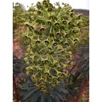Euphorbia characias - Euphorbe des vallons