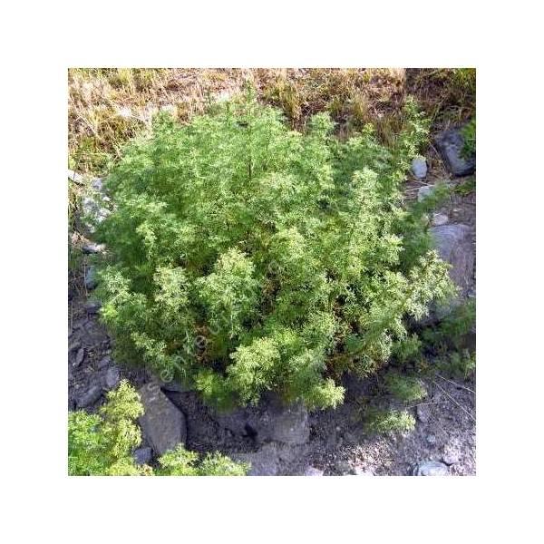 Artemisia chamaemelifolia - Armoise à feuille de camomille