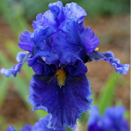 Iris 'Deep Dark Secret'