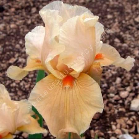 Iris 'Marmalade Skies'