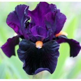 Iris 'Imperative'