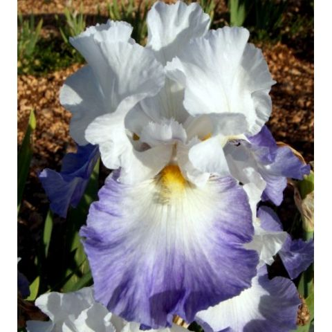 Grand Iris De Jardin Alizes Blanc Et Bleu Vente En Ligne