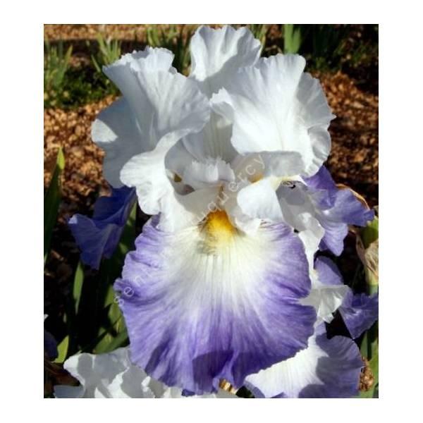Iris 'Alizés'