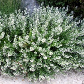 Calamintha nepeta 'Nuage Blanc' - Calament à fleurs blanches