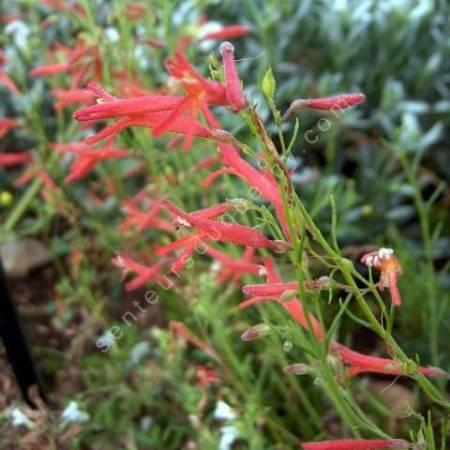 Penstemon pinifolius - Galane à feuilles de pin