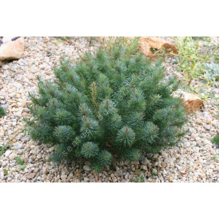 Euphorbia cyparissias 'Clarice Howard', Euphorbe Petit Cyprès
