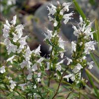 Micromeria thymifolia