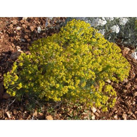 Euphorbia cyparissias, Euphorbe Petit Cyprès