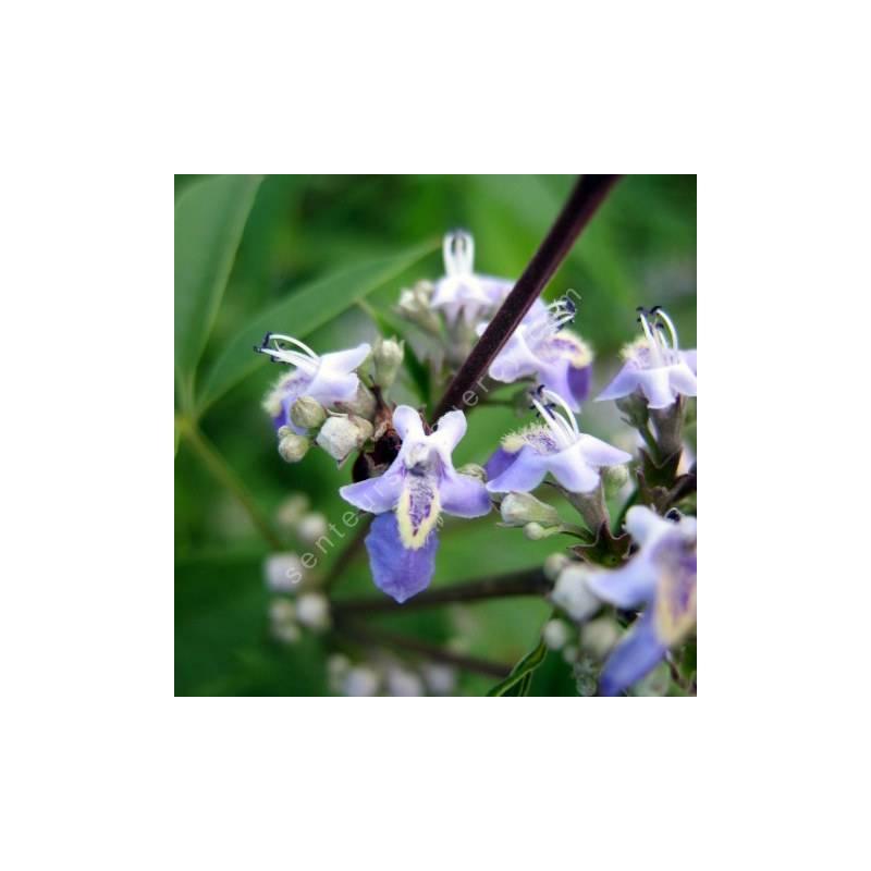 Vitex negundo var. cannabifolia - Gattilier à feuilles de cannabis
