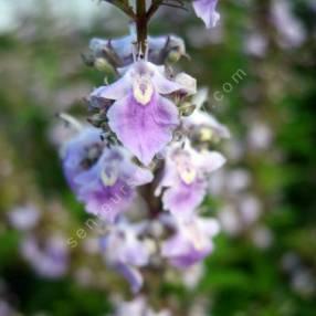 Vitex negundo var. heterophylla - Gattilier de Chine