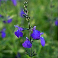 Salvia 'Blue Note' - Sauge arbustive bleue