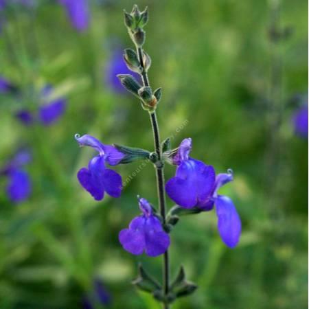 Fleur de Salvia 'Blue Note' - Sauge arbustive bleue