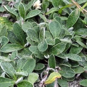 Hieracium pilosella - Piloselle - Oreille de Souris