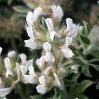 Dorycnium hirsutum 'Fréjorgues' - Dorycnie
