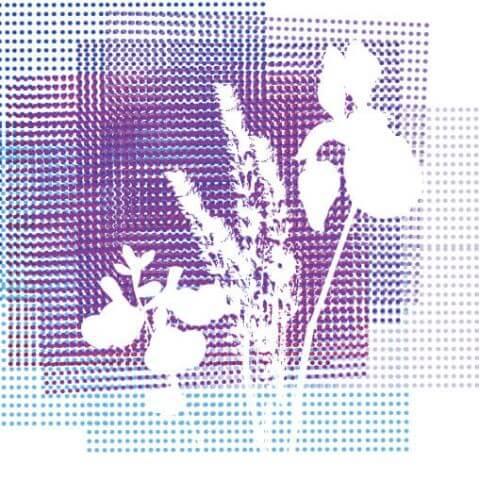 Collection Lavandes violet foncé