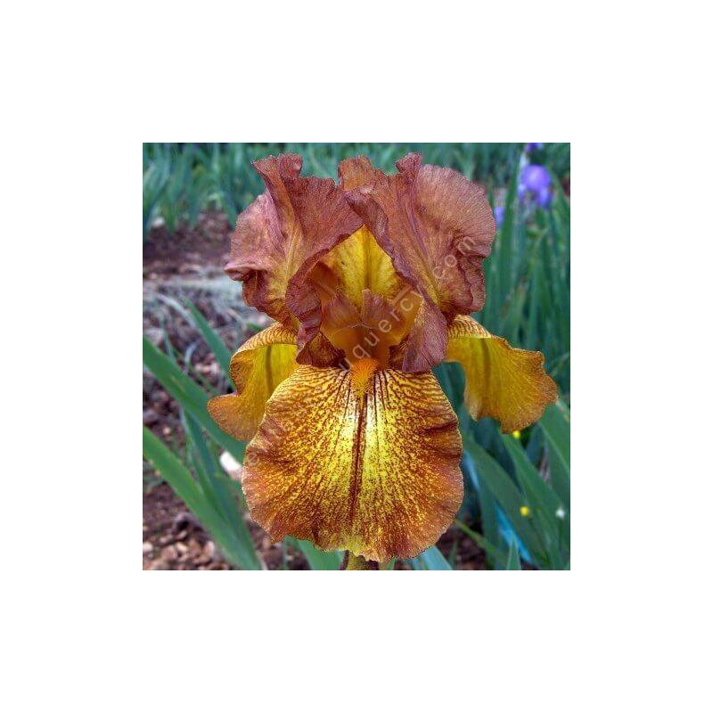 Iris 'Autumn Echo'