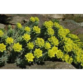 Euphorbia myrsinites, Euphorbe de Corse