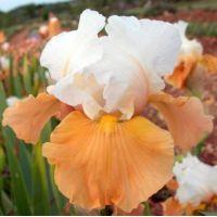 Iris 'Apricot Frosty'