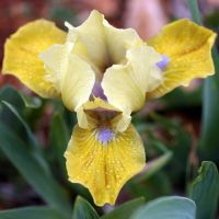 Iris 'Caution Sign'