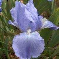 Iris 'Open Sky'