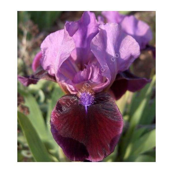 Iris 'Regard'