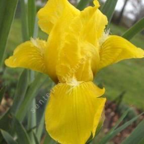 Iris 'Brassie'