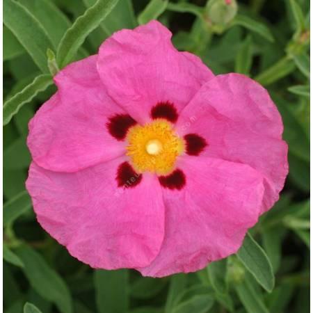 Cistus x purpureus - Ciste pourpre