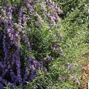 Buddleja alternifolia - Arbre aux papillons à feuilles alternes