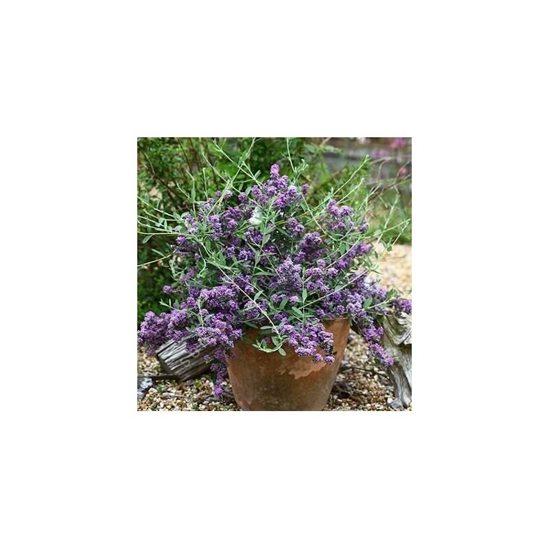 Buddleja alternifolia 'Compacte' - Arbre aux papillons à feuilles alternes nain