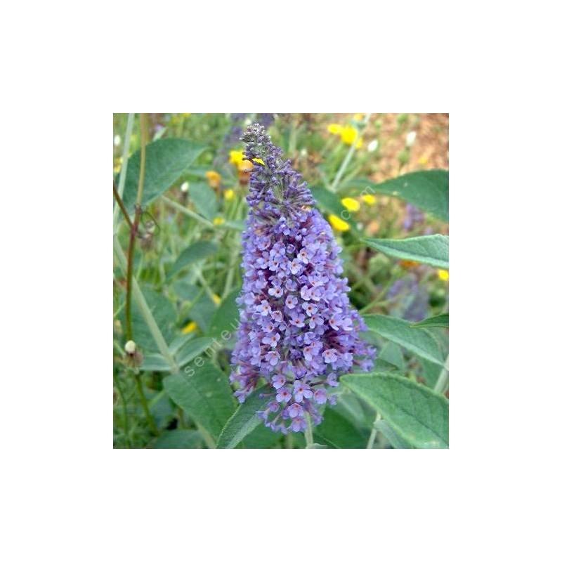 Buddleja 'Lochinch' - Arbre aux papillons