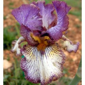 Iris 'Apollo One'