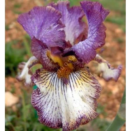 Iris 'Apollo One'