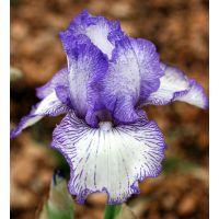 Iris 'Autumn Circus'