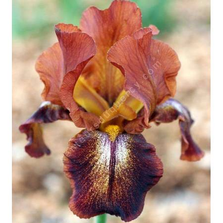 Iris 'Cayenne Capers'