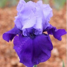 Iris 'Cee Tee'