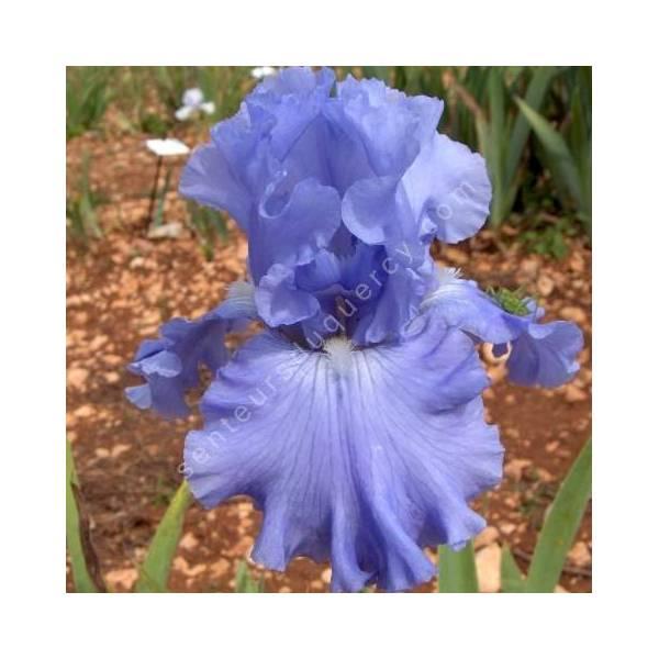 Iris 'Carribbean Dream'