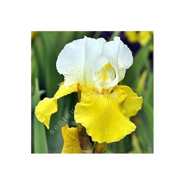 Iris 'Tulip Festival'